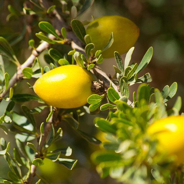 argan-yagi