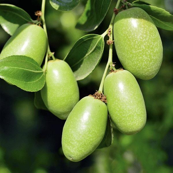 jojoba-yagi