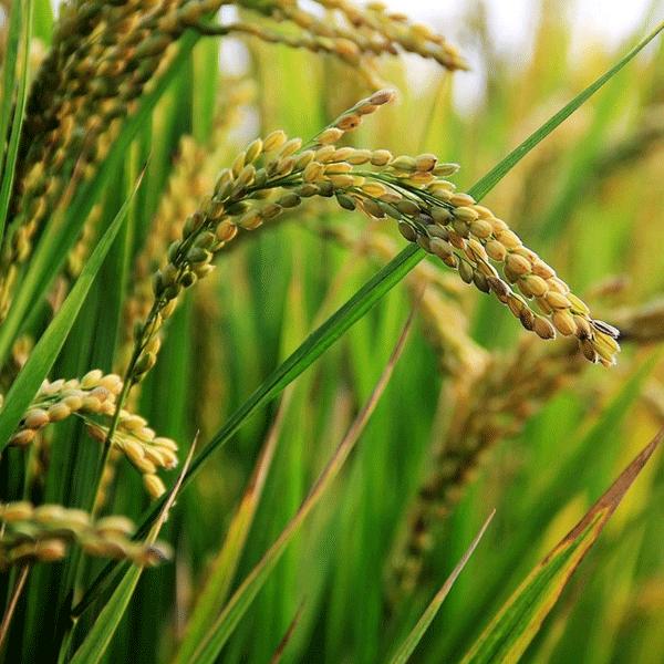 Pirinç Kepeği